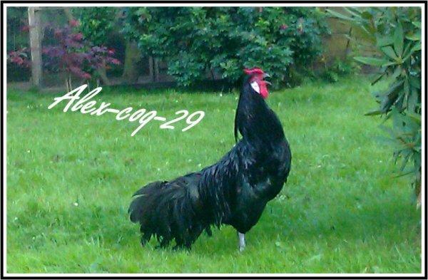 Coq d'Alsace ( Alsacienne ) Noir
