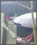 Photo de alex-coq-29