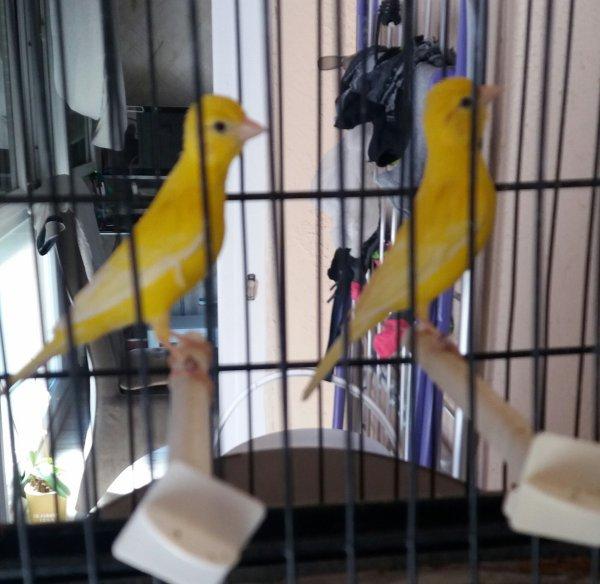 Raza lipochrome jaune intensif