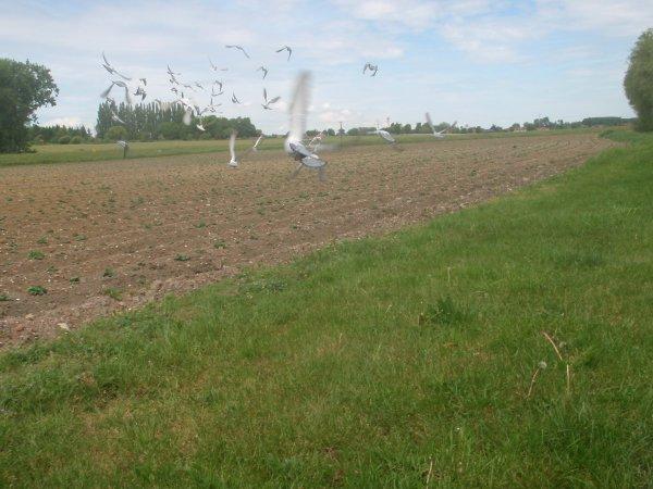 3 entrainement béthune vol d'oiseaux 20km étaient là au retours tous rentrés