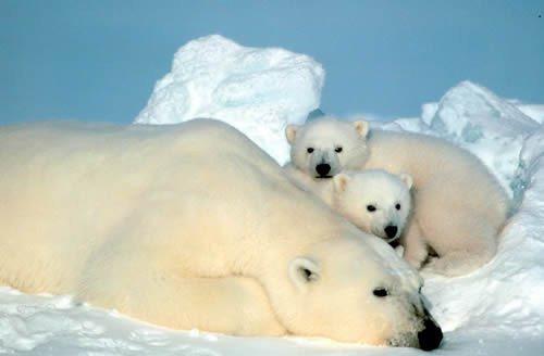 ours avec ces petits