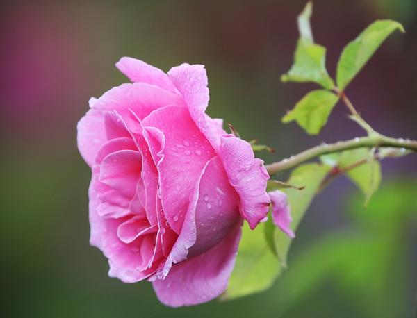 une fleur rose