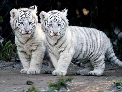 bebe tigres blancs
