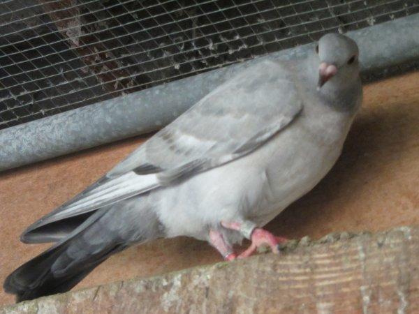 """COULEUR  pigeon  """"REDUIT""""  ?"""