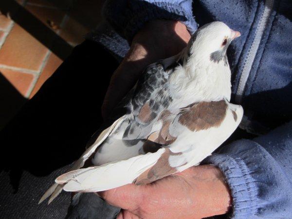 """Pigeon """"TRICOLORE"""" : Bleu - Blanc - Rouge."""