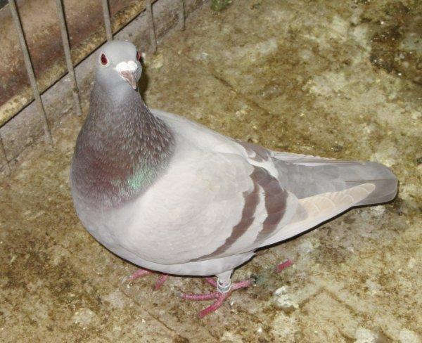 """Pigeon """" BRUN """""""