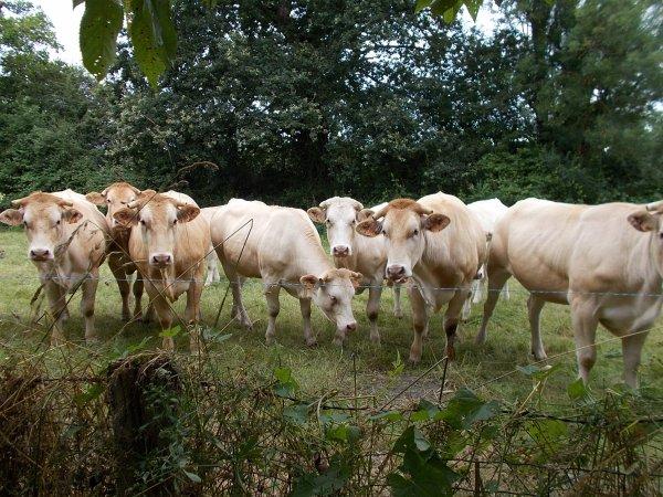 nos amies les vaches