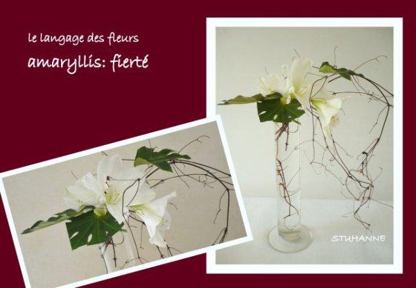 amaryllis échevelée