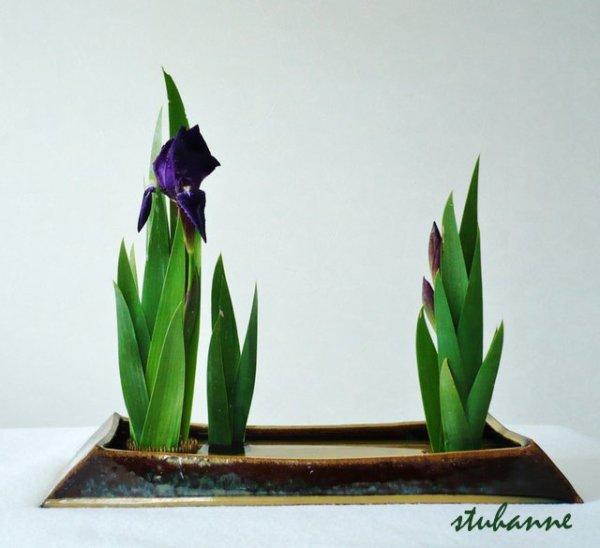 mes premiers iris de printemps