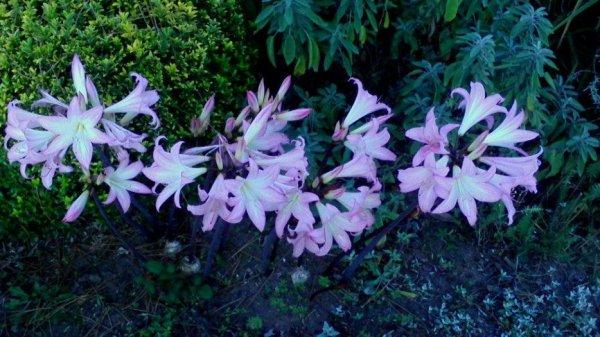 Lis belladonna