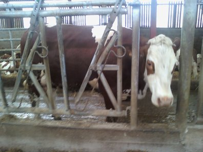 vaches montbéliardes a un agri de propieres