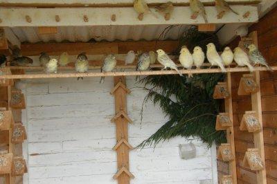 une autre avec les canaris