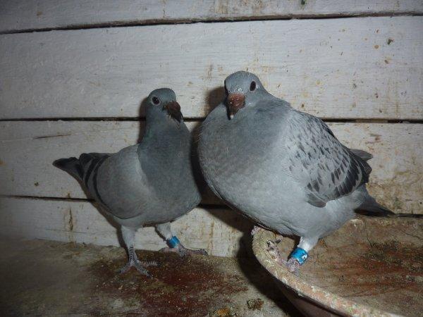 pigeons pour un amis pour le fond