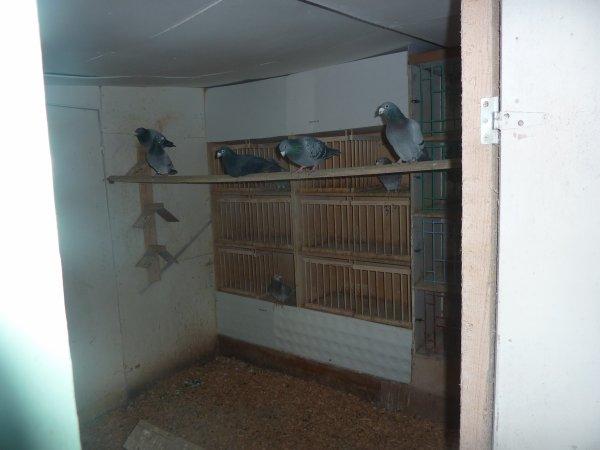 colombierdu nord nouveaux pigeons suite
