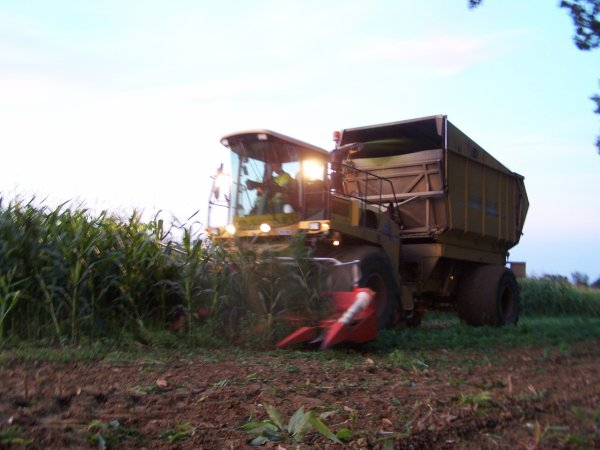 Ensilage de maïs.