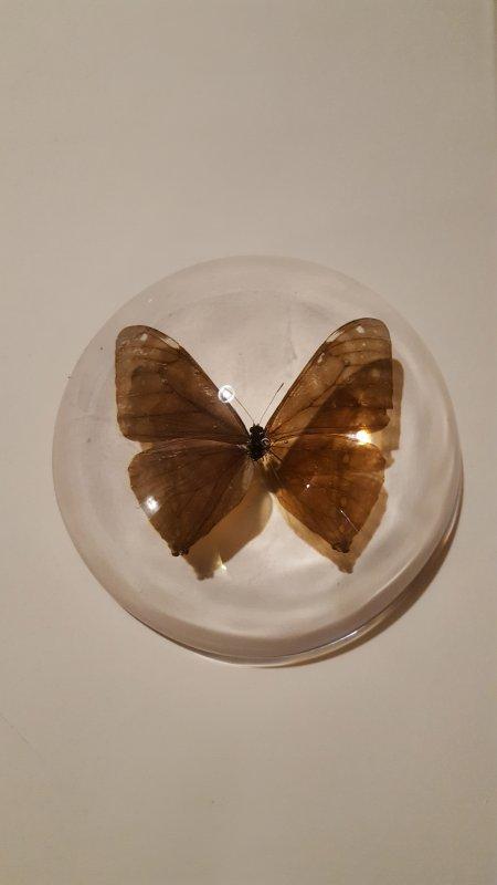 inclusion de papillon
