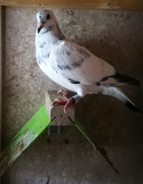 Pigeon acquis chez l'ami Jean Luc Roger qui viennent directement de ses meilleurs reproducteurs ils seront tous placés à la reproduction l année prochaine