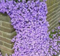 Articles de virginie 376 tagg s le campanule des murs jardins de r ve - Campanule des murs ...