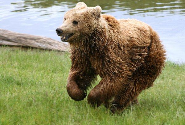 les ours sont en danger !! agiissons !!!!!! c'est important !!