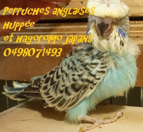 PERRUCHE HUPPEE ANGLAISE  ET COULEUR ET HAGOROMO 羽衣セキセイインコ JAPONAIS(helicoptere)
