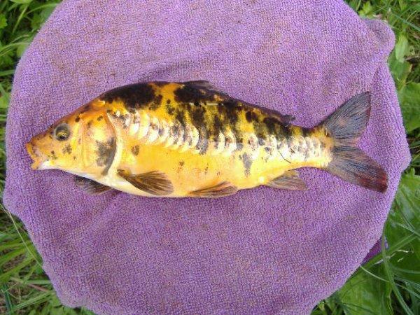 Carpe koi de mon étang