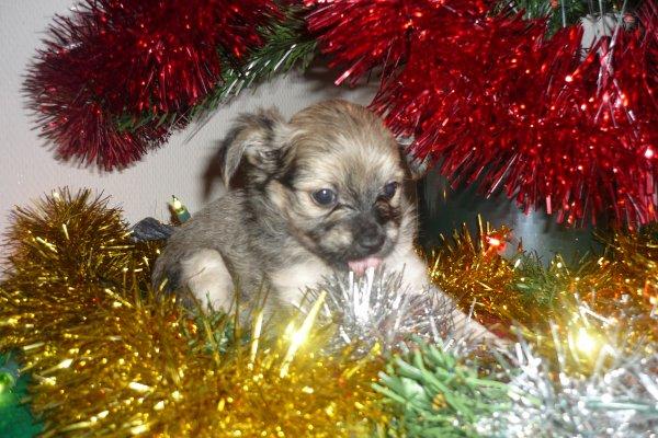 voici les bébé de ma chienne djina une petite chihuahua son poids normal et de 1kg900 elle a u 2femelle et 3 petit mal il son du 10novembre la petite noir et blanche et deja partie