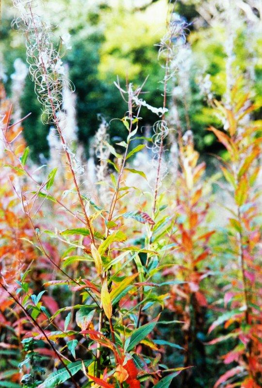 Autumn colours - Weeds - 1995