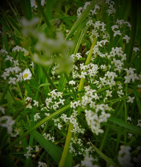 PHOTOS PERSO : Au jardin du printemps, petites fleurs des champs