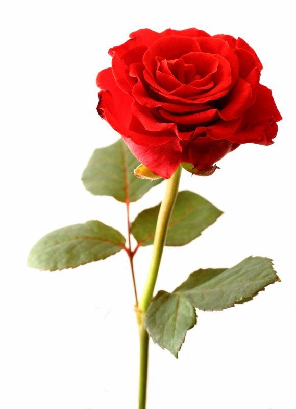 Poème : Ode à la rose