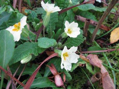 Premières fleurs