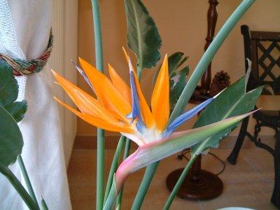 Fleur de mon strélizia reginae