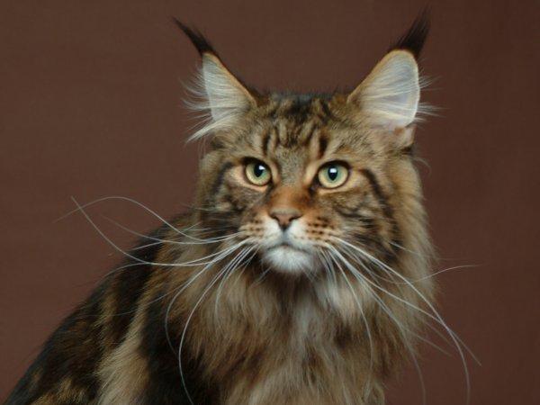 Voici ma race de chat préféré !