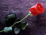 une rose que j'offre à ts les visiteurs
