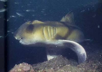 Requin Dormeur Taureau Sharks
