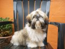 Photo de Lylou-shihtzu