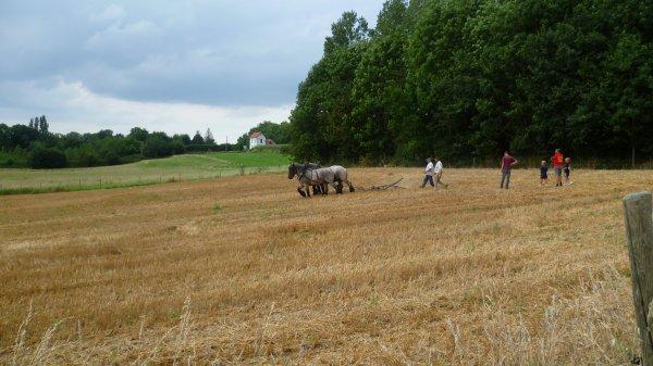 Entrainement des chevaux de trait