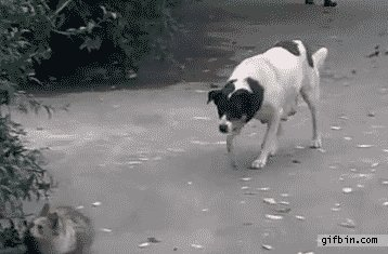 Sneaky Dog get his ass Kicked By a tough cat ;D