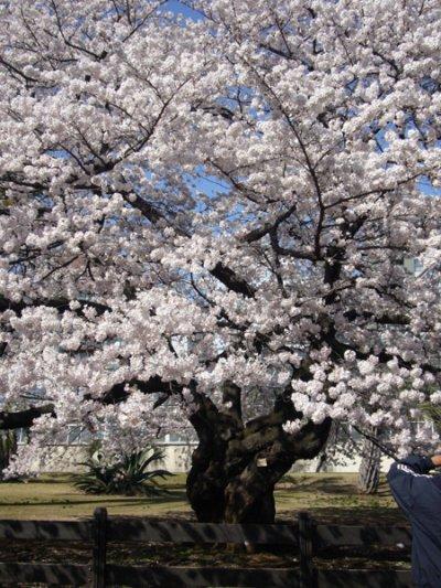 Hanami et Sakura