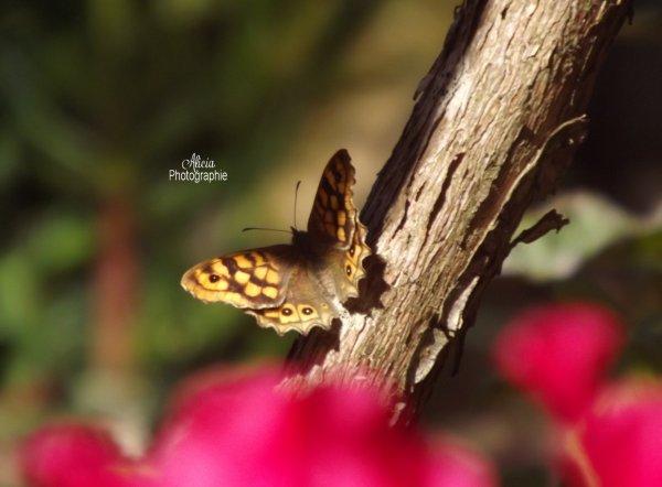 Papillon..