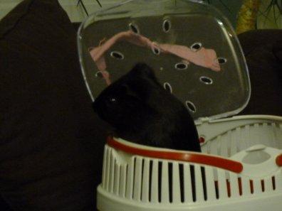 Je suis trop chou pendant que ma maman nettoie ma cage <3
