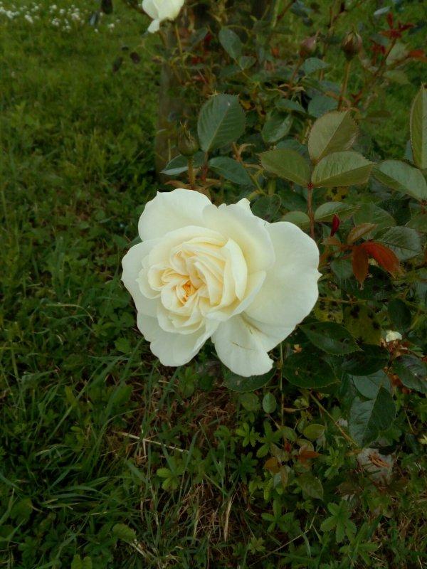 Voici différentes rose que je possède