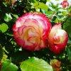 Voici un autre rosier que je possède