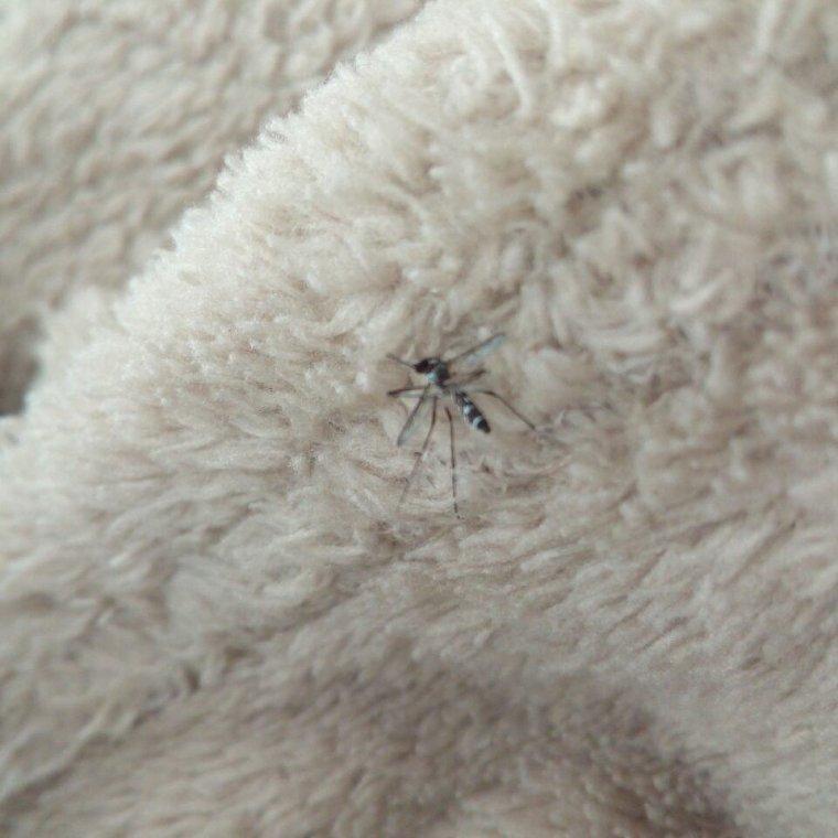 Un moustique tigre dans la maison sa commence a bien faire !
