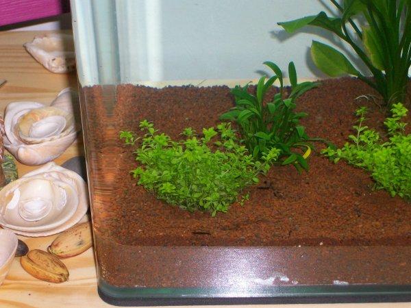 hemianthus micranthemoides et cryptocoryne parva