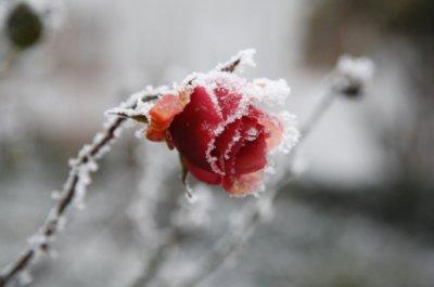 Fleur de glace