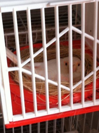 femelle mosaique rouge ki ma pondu 5 oeuf dont 4 fécondé la photo des bébé et en dessous