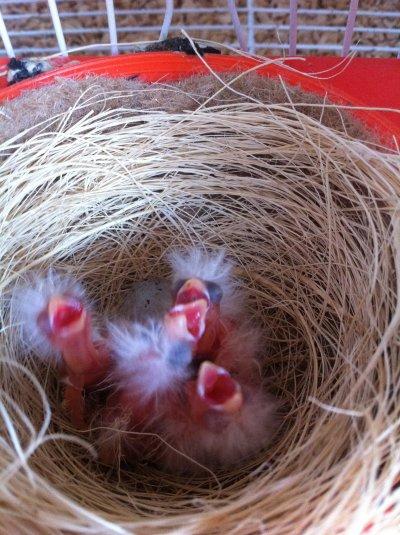 4 bébé de ma mosaique rouge il son 2 jour