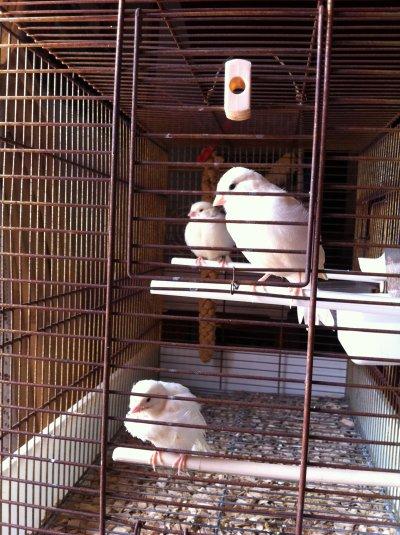 3 bébé mosaique rouge agée de 1 mois