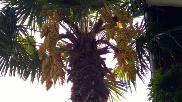 Notre palmier en pleine floraison