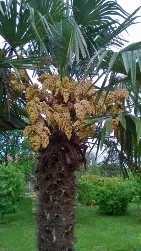 Notre palmier alsacien